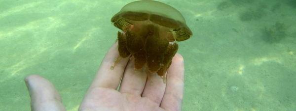 Unas medusas pierden su poder urticante al no tener depredadores