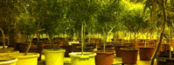 La policía de Caldes desmantela una fábrica con 300 plantas de marihuana