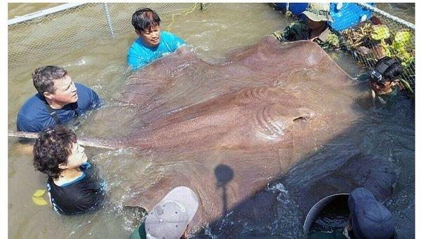 Un pez gigante en aguas del río Mae Klong