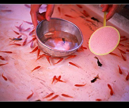 Kinggyo-sukui-peche-du-poisson rouge-epuisette-japon