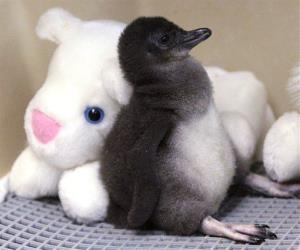 A two-week-old Little Penguin rests against a stuffed animal in an incubator at the Cincinnati Zoo, Thursday, Jan. 27, 2011, in Cincinnati.