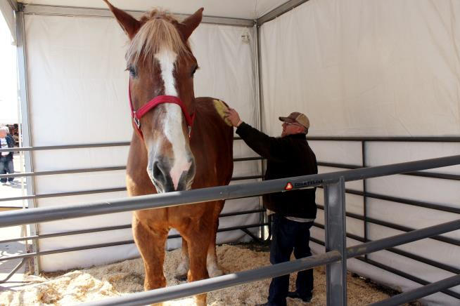 The Tallest Horse in the World Is Dead at 20