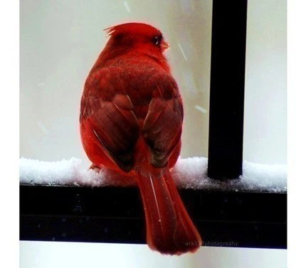 Nature Photography, Red, Black, White, Cardinal, Bird Photo, Portrait, Animal Picture - 8x8 inch Print- Cardinal in the Snow - ara133photography