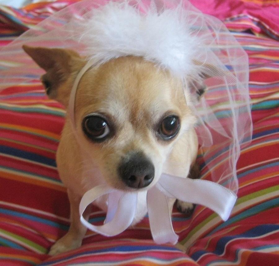Pet BRIDAL veil free world wide shipping