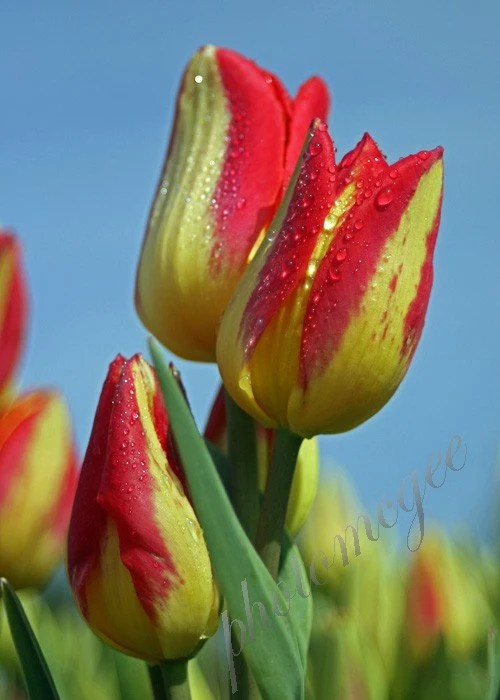 Tulip in Dew - Red and Yellow - 5x7 - photomcgee