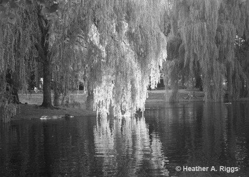 Willows in the Boston Public Gardens Reflection over Swan Pond, Black and White Photograph, tree, romantic