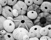 Black and White Shell Print - Sea Urchin Photography - 4x6 Photography Beach Cottage Decor - LongForgotten