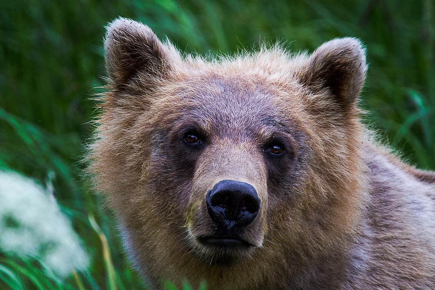 Alaska Photography Grizzly Bear Photo Print 8x10 And