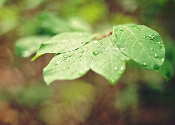 After the Rain - 5x7 Fine Art Photography Print - nature leaves woodland forest natural green droplets home decor photograph - riotjane