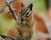 Chipmunk Photo Woodland Animal Photography Fall Colors 5x7 Nature Wall Art Print - NatureVisionsToo