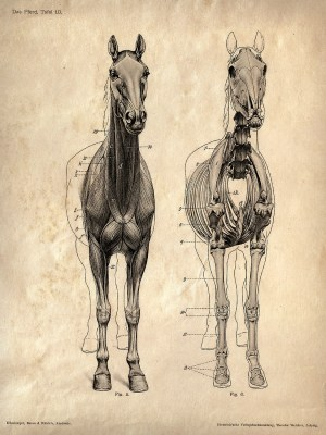 Horse anatomy Skeleton Prints  Two Matching Vintage Science Animal Study Posters Horse Anatomy