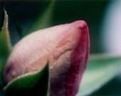 Rose bud photography, 5x7 nature photography print, closeup, light pink, green, romantic flower wall decor - bialakura