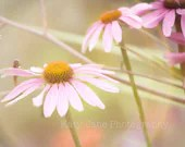 summer flower-flower photography-pink-purple-blossom-echinacea-8x10-dreamy-garden- - KatyJanePhotography