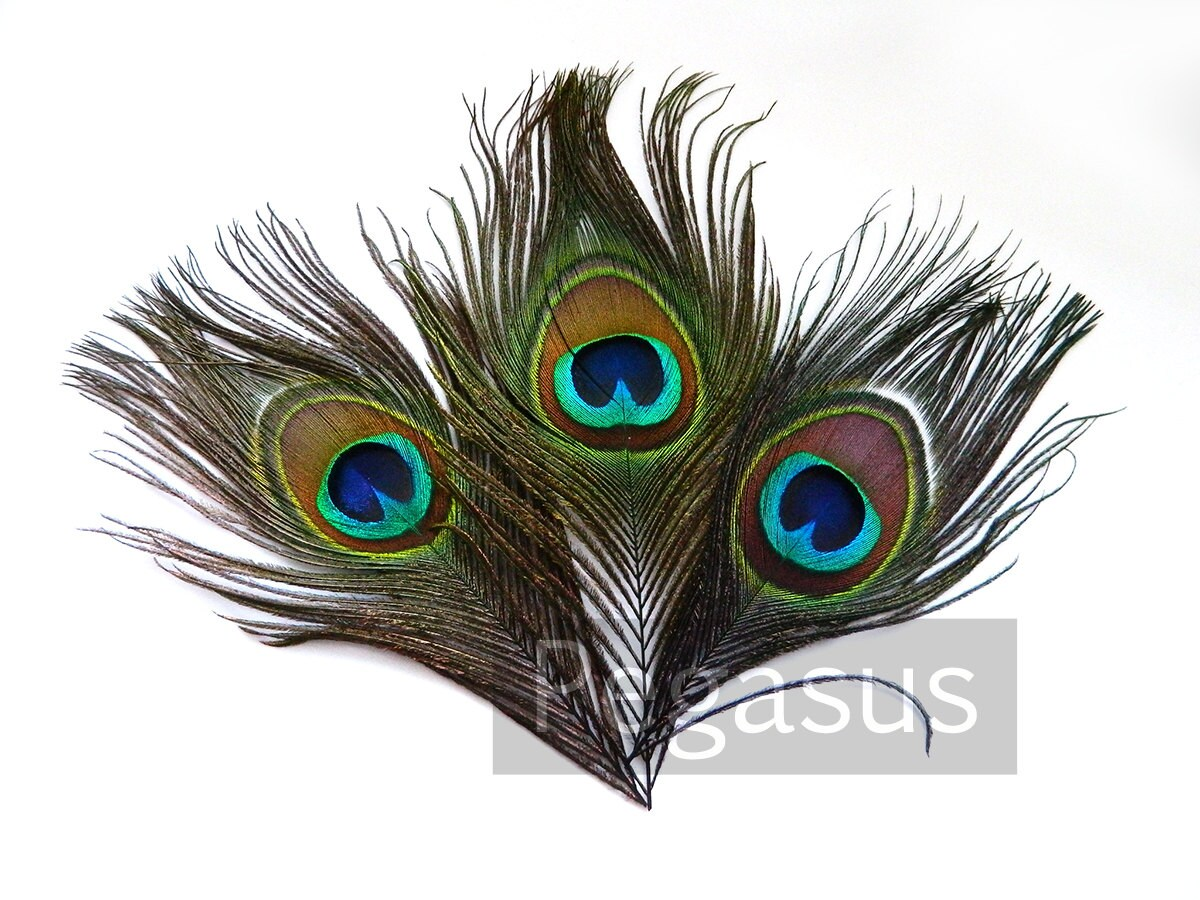Natural Peacock Feather Eyes 6 JUMBO Feathers Pristine