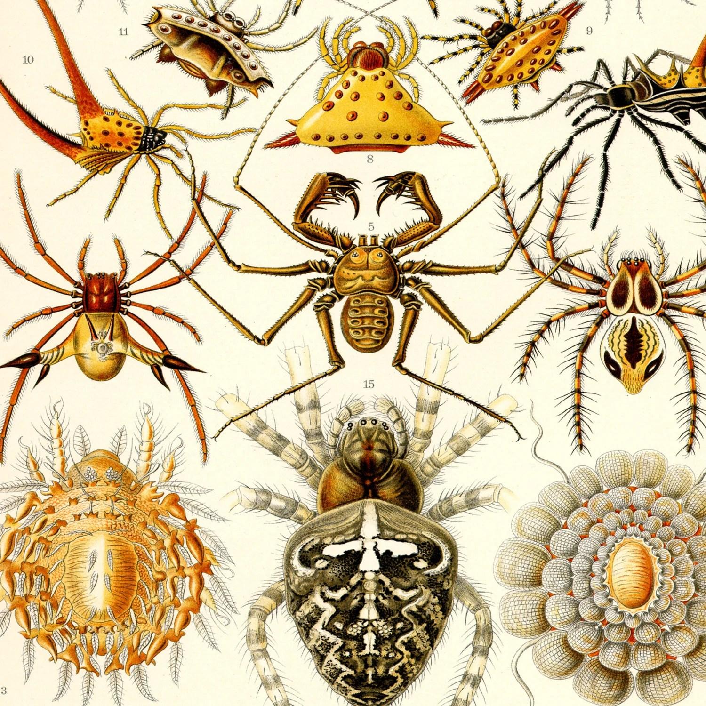 Spider Print Spider Art Poster Ernst Haeckel Arachnid