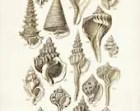 Seashells Poster, Seashells Art Print, George Sowerby Seashell Drawing, Beach House Decor, Wall Art, Wall Hanging, Coastal Living