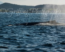 Photo of a Humpback Whale Surfacing to Blow, Whale Photography, Humpback Whale Art, Wildlife Photography, Scenic Photography, 4x6-24x36