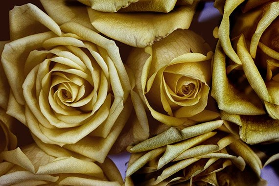 Gold Roses Photograph, Abstract Wall Decor, Gold Flower Photo, Floral Art Print, Yellow Rose - JudyStalus
