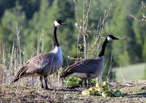 Canada geese family deskt...