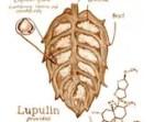 beer art, Lupulin Chemistry, painted using beer, scientific, chemistry, stout, porter, pub art, molecule, hops