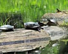 Turtles with a Twinkle, Photographic Print, Pond with Turtles, Wall Decor