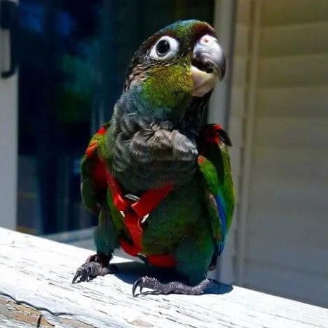 Small Conure Leather Bird Harness Leash And Case