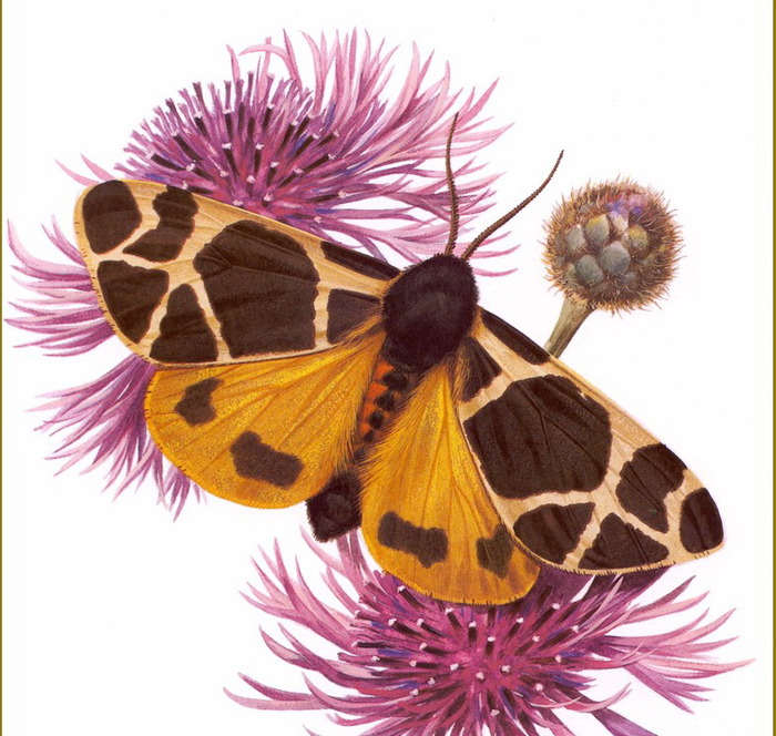 Голландская художница натуралист бабочки