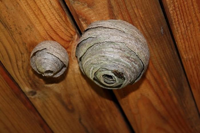 Из чего осы строят свои гнезда?