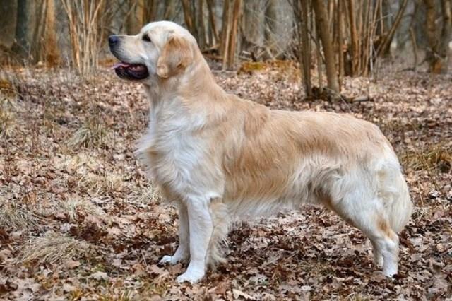 Лучшие породы собак психологов
