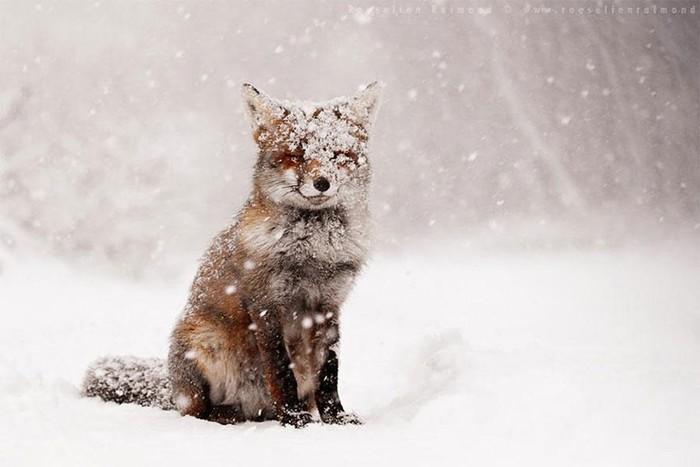Рыжие пушистики: фотоподборка очаровательных лис