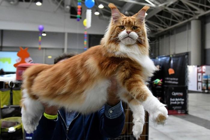 Международная кошачья выставка SuperCatShow (фотографии)
