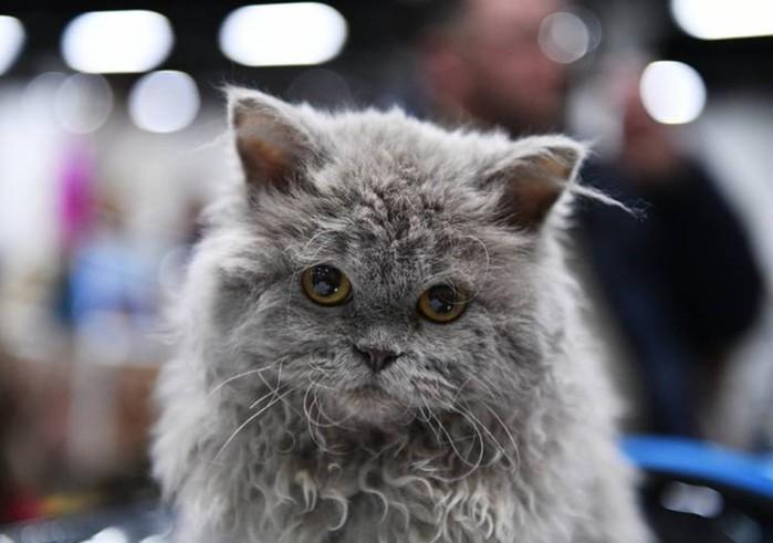Котенок, который родился в «овечьей шкурке», прославился в Twitter
