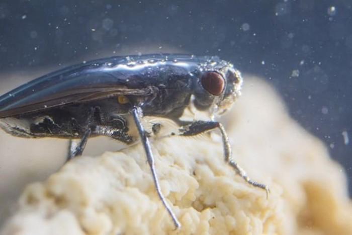 Мухи аквалангисты из США могут жить в экстремальных условиях