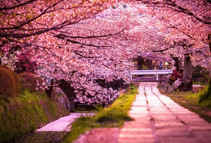 Фестиваль цветущей вишни на Тайване