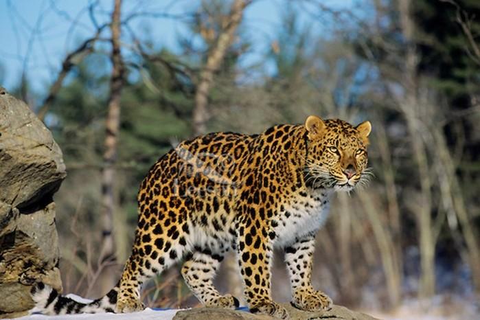 Кошки хищницы: интересные факты и красивые фотографии