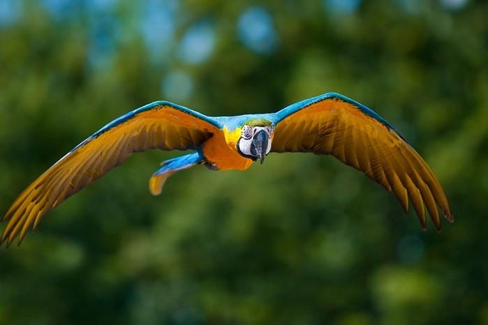Как цвет попугая влияет на способность птицы говорить?