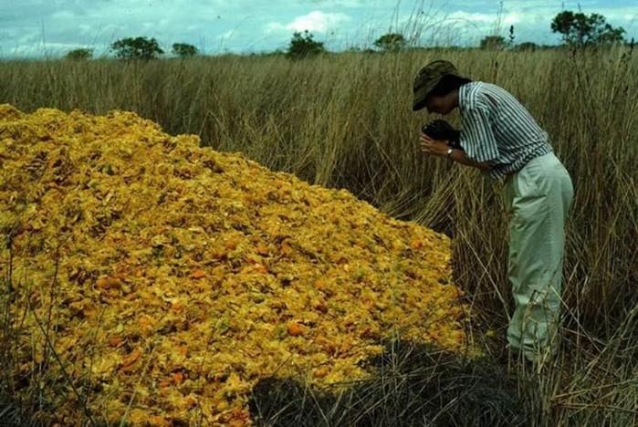 Апельсиновые корки, изменившие экосистему Америки