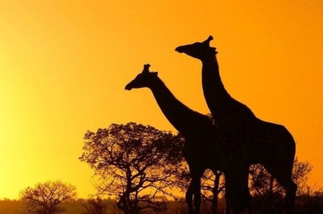 Удивительные «рогатые» рекорды животных