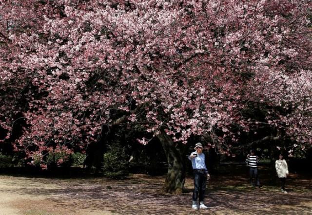Цветение сакуры в Токио: национальный парк Синдзюку гёэн