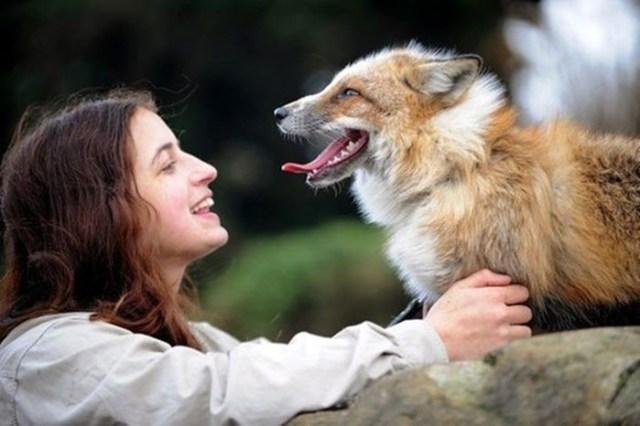 Домашний лисёнок, который думает, что он собака