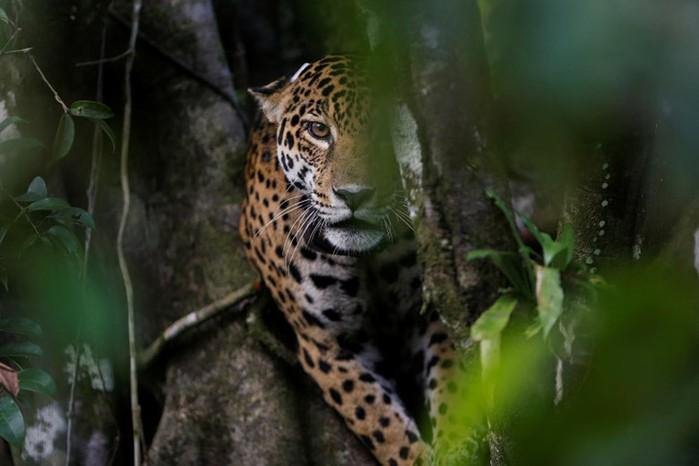 Почему бразильские ягуары живут на деревьях: фотографии невероятных кошек