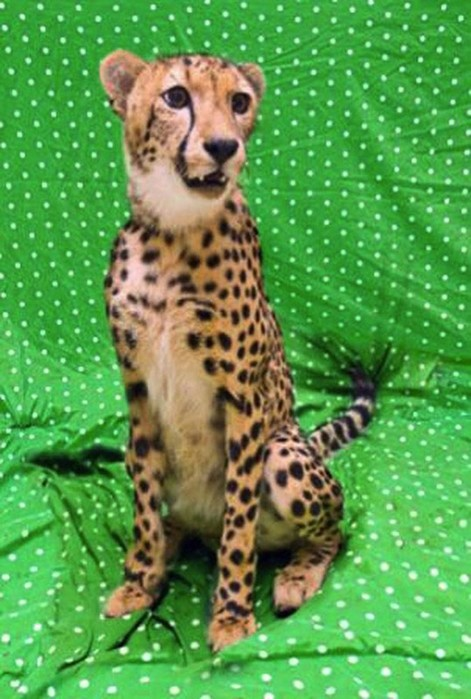 Верные друзья гепард Каси и лабрадор Мтани неразлучны круглый год