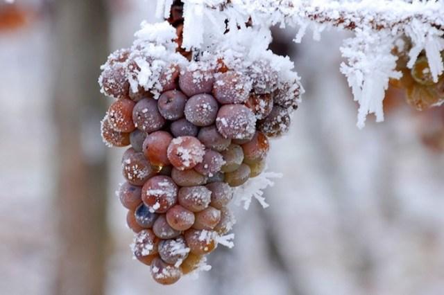 Ледяное вино: одна из самых сладких ошибок природы