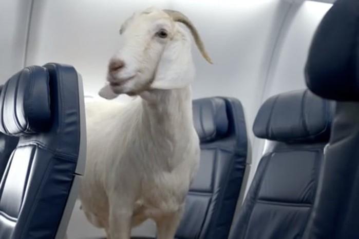 Американским козлам запрещают летать на самолетах