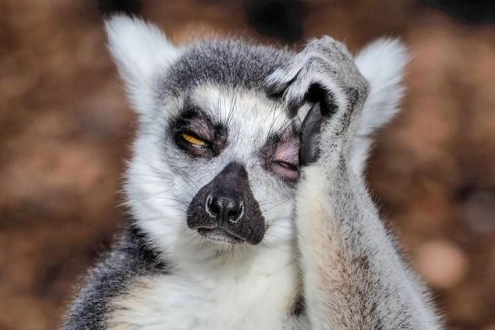 Фотограф показал, как мучаются от похмелья австралийские лемуры