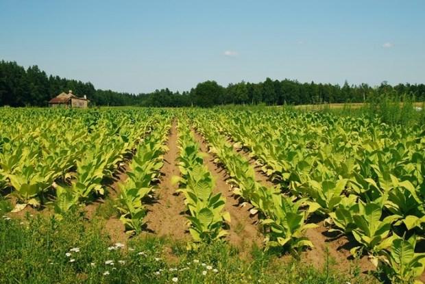 Что индейцы делали с томатами, табаком и какао? Европейцы всё перепутали!