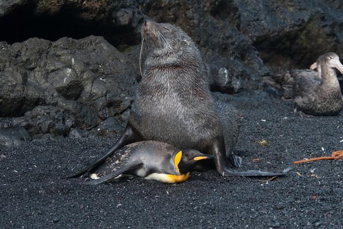 Содом и Гоморра в животном мире: видео, как морской котик насилует пингвинов
