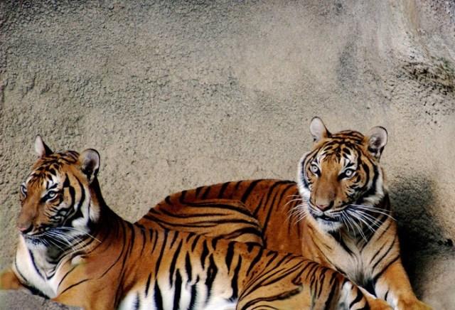Самые сильные кошки: 40 интересных фактов о тиграх