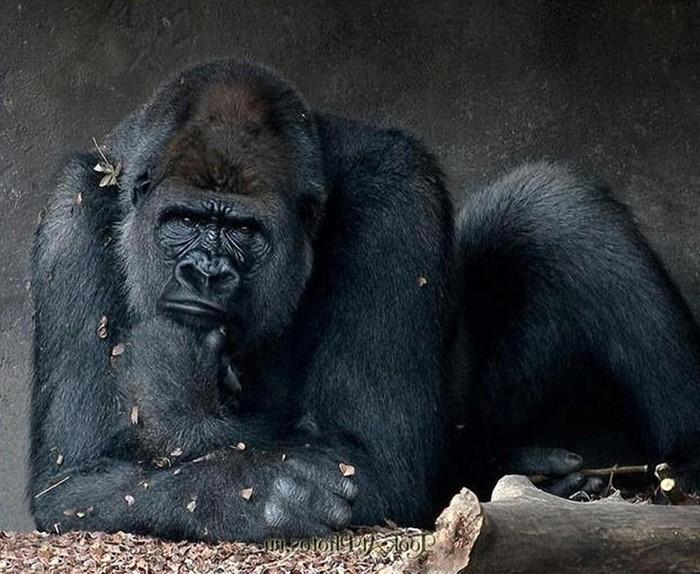 Как в австралийском зоопарке 38 летняя горилла уходила на пенсию