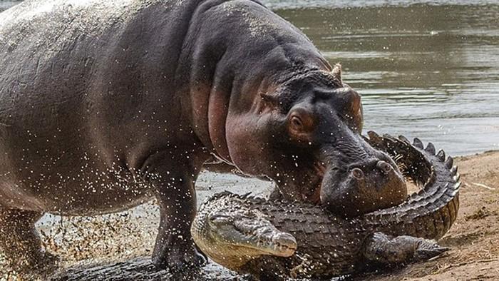 В зоопарке Екатеринбурга есть карликовый бегемот!